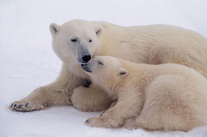 Белый медведь - самый крупный наземный представитель млекопитающих...