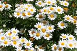 ������ niagra-white-daisies (700x466, 409Kb)