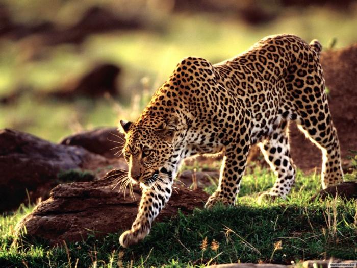 ягуар, животные, леопард.