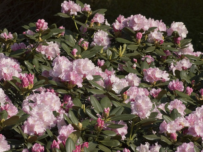 Rhododendron Silberwolke (700x525, 160Kb)