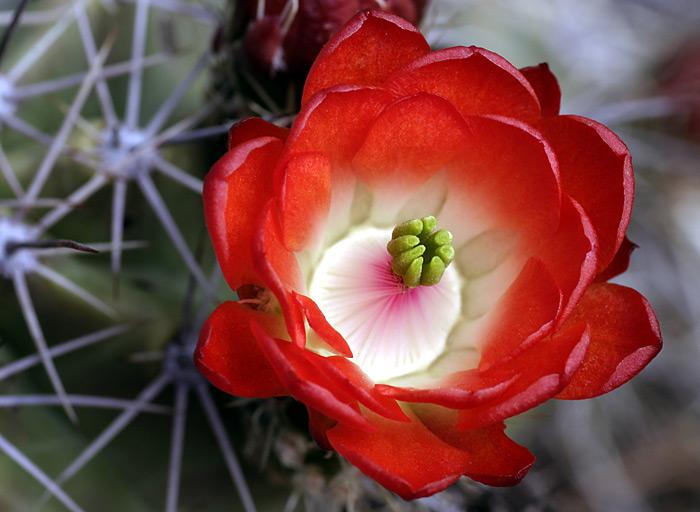 ...и беззащитной был однажды день рожденья. все цветы приготовили ей свои подарки. лепестки с... цветущие кактусы.