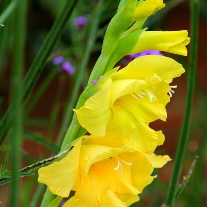 4216969_Gladiolus (700x700, 292Kb)
