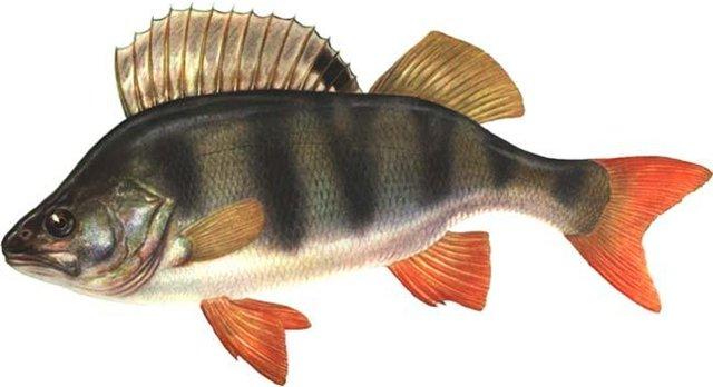 Окунь - встречается во многих местах, является дневной рыбой и в стаях.