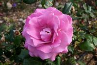 Розы (часть 1)