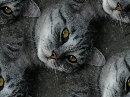Animals_Cats_Grey_cat_004927_ (450x338, 88Kb)