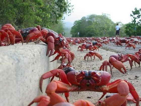 christmas_island_crab_migration_5 (560x420, 31Kb)