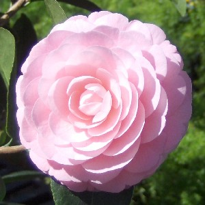 PinkPerfectionCamellia.330sq.021109 (300x300, 25Kb)