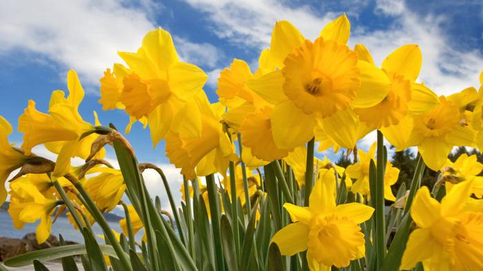 1257431512_sunny-daffodils (700x393, 117Kb)