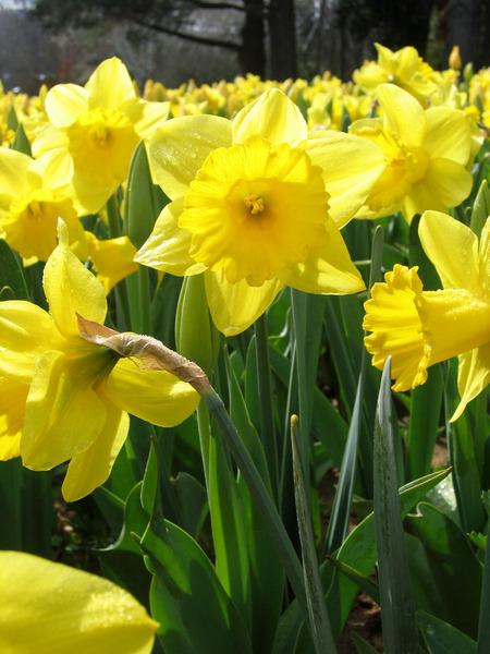 daffodils (450x600, 106Kb)