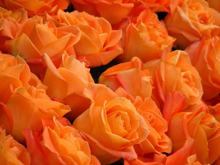 31105261_1219545948_orange_roses_by_melloncolliebaby1 (700x525, 110Kb)