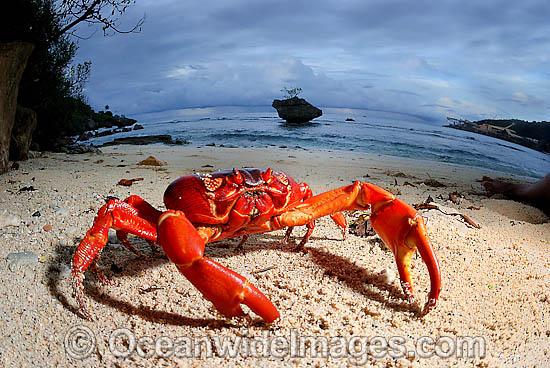 60M0444-05D-christmas-island-red-crab (550x368, 124Kb)