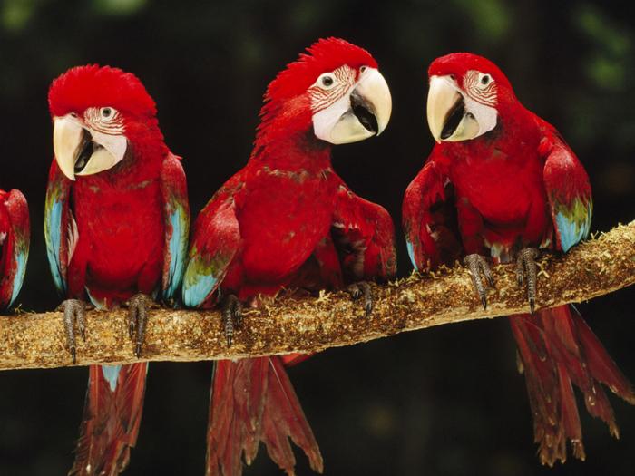 Animals_Birds_Red_macaw_027798_ (700x525, 455Kb)