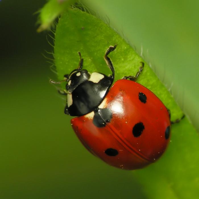 ladybug (700x700, 381Kb)