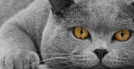 2222299_Glaza-v-glaza-Razdel-jivotnie-Fotografii-na-FotoSaite-Photosightru-foto-cat-jivotnie-animals-funny-animals-eye-koshki_large (550x282, 69Kb)