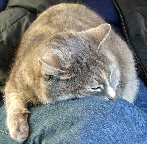 grey-cat-knee (600x585, 83Kb)