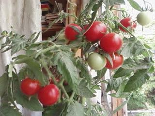 томаты (320x240, 33Kb)