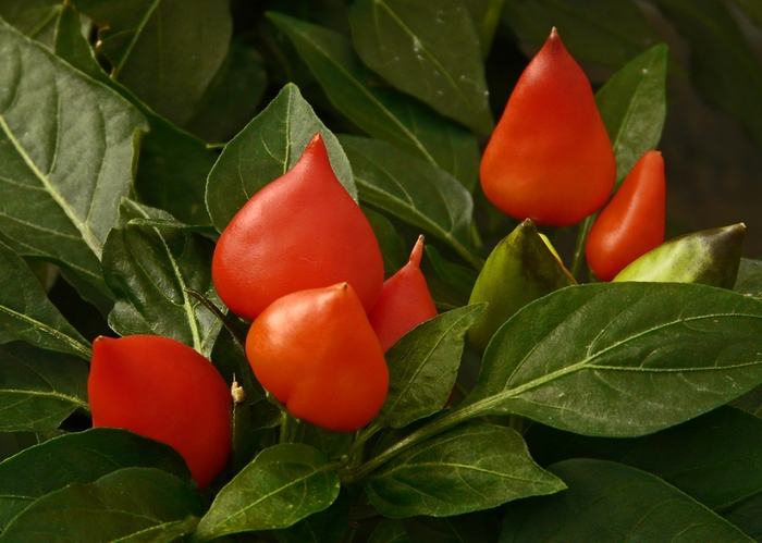 4278666_3016208332_9a91fe2271_Ornamental__Peppers_L (700x499, 258Kb)
