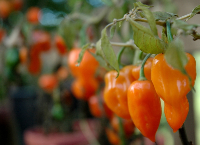 4278666_4036857997_0420394cf0_Pepper_Harvest_O (700x505, 207Kb)