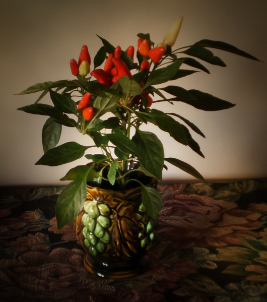 4278666_4934551825_4a005baf1c_Ornamental_Pepper_O (530x600, 211Kb)