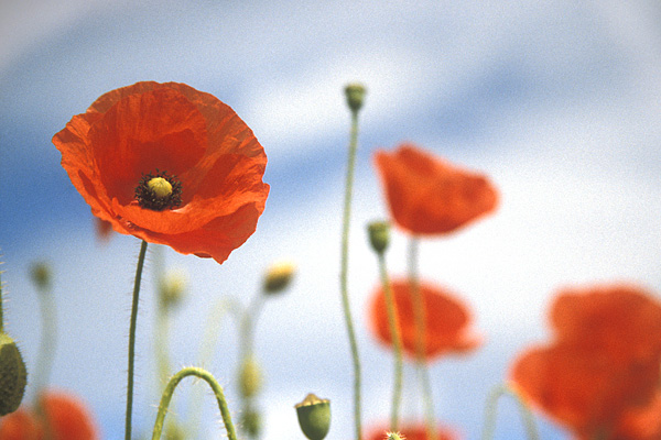 poppies_1 (600x400, 91Kb)