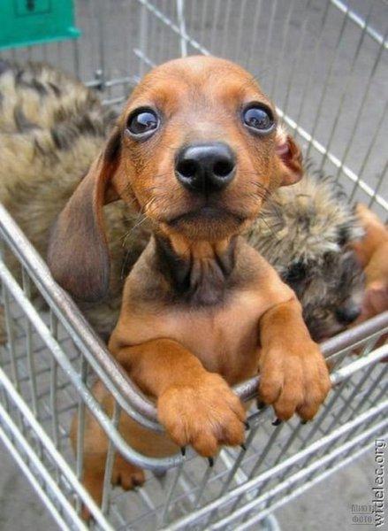 1276618263_cute_puppies_22 (439x600, 52Kb)