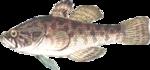 рыба Ротан фото Ротан.