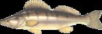 К семейству окуневых принадлежит любитель чистых водоемов судак.