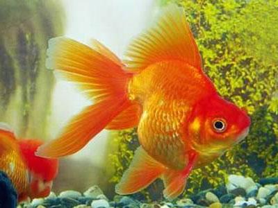 Римволизм золотой рыбки.