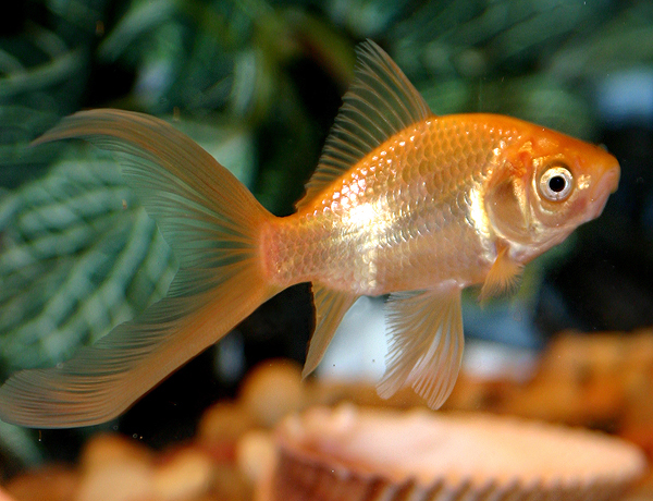 Domesticcometgoldfish (600x460, 335Kb)