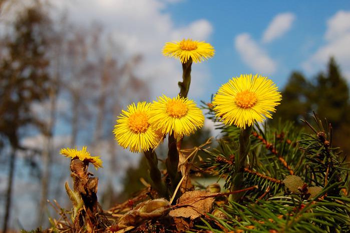Мать-и-мачеха цветы