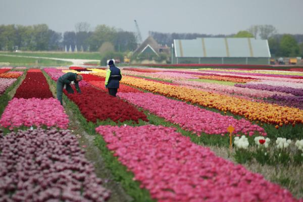 тюльпаны1 (600x400, 96Kb)