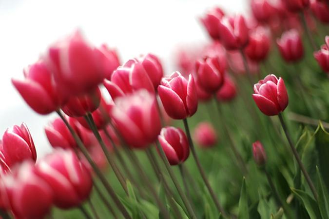 тюльпаны3 (675x449, 146Kb)