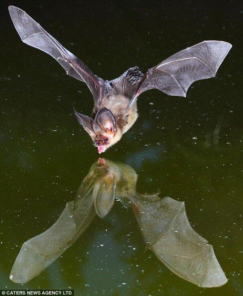 Bat_01 (493x600, 55Kb)