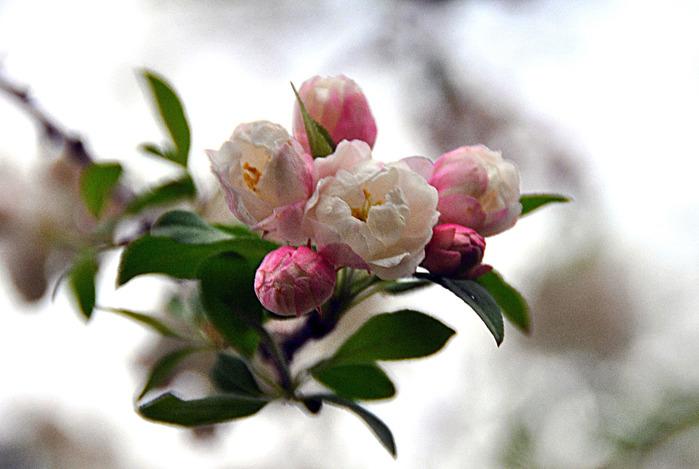 5616308441_f3a980b59f Blossoms_O (700x469, 100Kb)
