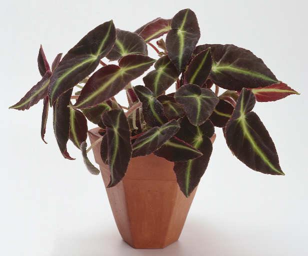 Begonia listada (Бегония полосатая)Лопастные тёмно-зелёные, мягко опушённые листья с яркими изумрудными полосами.