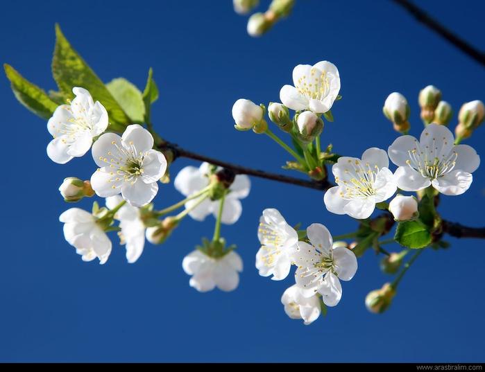 Beyaz-Meyve-Çiçekleri (700x537, 117Kb)