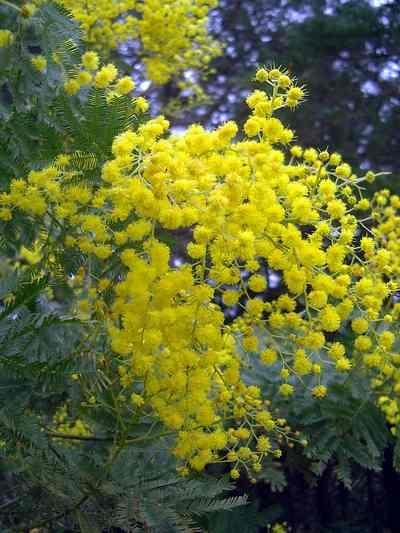 acacia_dealbata_mimosa_533 (400x533, 54Kb)