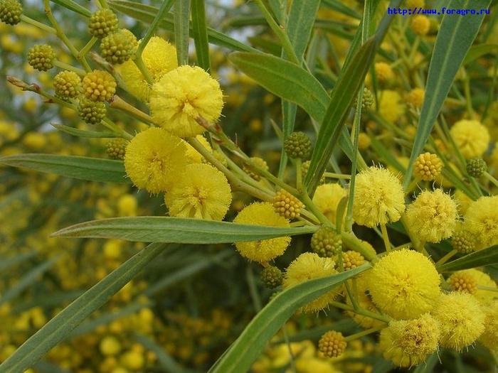 vv_flower_mimosa_5_h_orig (700x525, 147Kb)