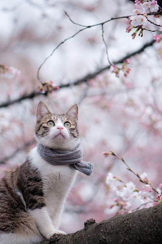 animals,cats,cherry,blossom,flowers,photography,scarf-419b4f7eb4b46baf9cfd5d1e40d0a712_h_large (332x500, 52Kb)