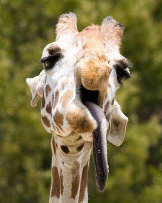 3201191_1249380513_funny_giraffe_05 (318x400, 19Kb)