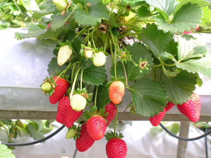 q-Strawberries (700x525, 85Kb)