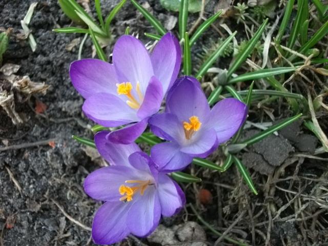 весенние цветы 048 (640x480, 188Kb)