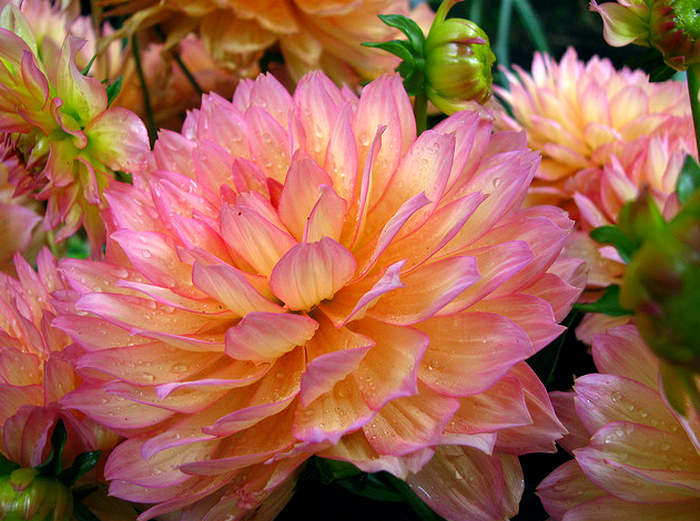 Balboa Park mums - points of different focus  Flickr - Photo Sharing! (700x521, 989Kb)