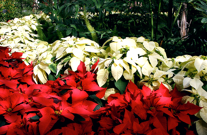 December Nights - Balboa Park - Poinsettias  Flickr - Photo Sharing! (700x456, 673Kb)