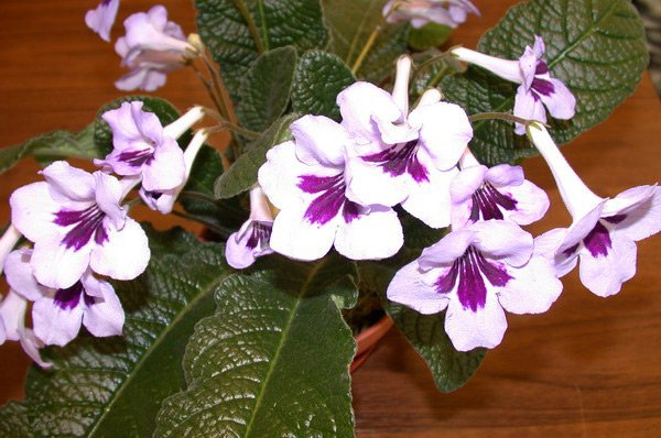 Комнатные цветы стрептокарпус фото