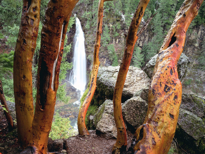 Madrone Trees and Barr Creek Falls, Mill Creek R (700x525, 239Kb)