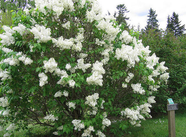 Olmsted Lilac Bush  Flickr - Photo Sharing! (630x464, 791Kb)