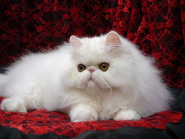 White female Persian (640x480, 55Kb)