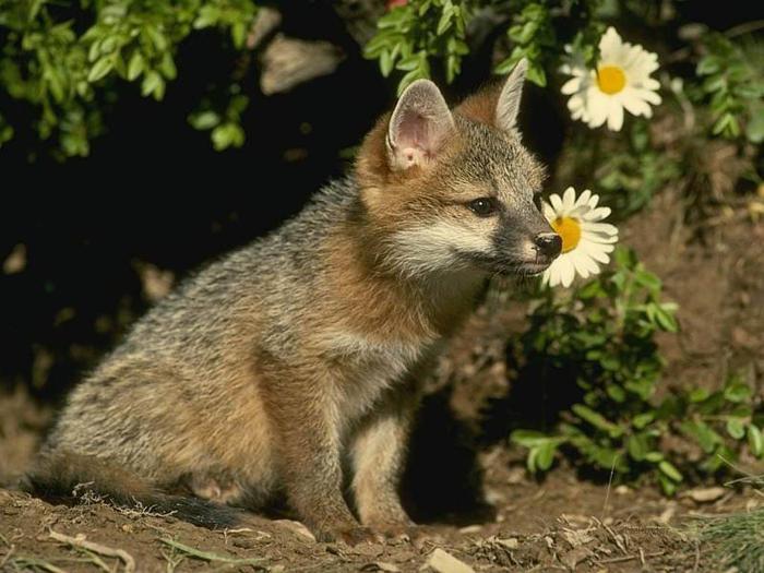 Baby_Fox (700x525, 59Kb)