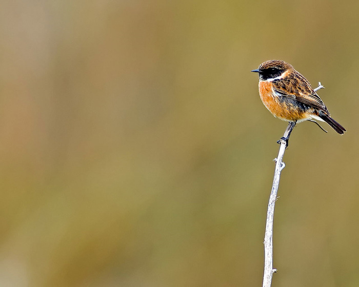 British_Garden_Birds_-_Stonechat (700x560, 52Kb)